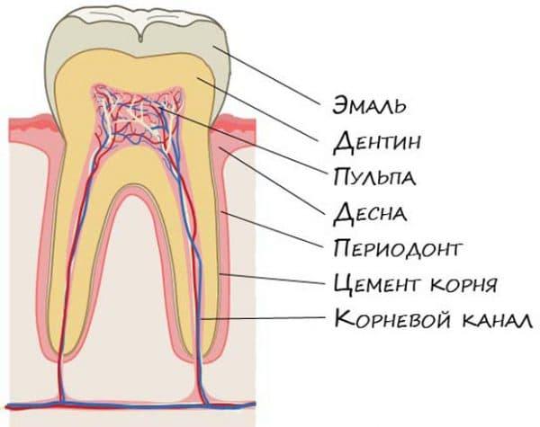 stroenie zuba